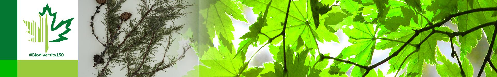 #Biodiversity150 number 112 of 150 Tamarack Tree