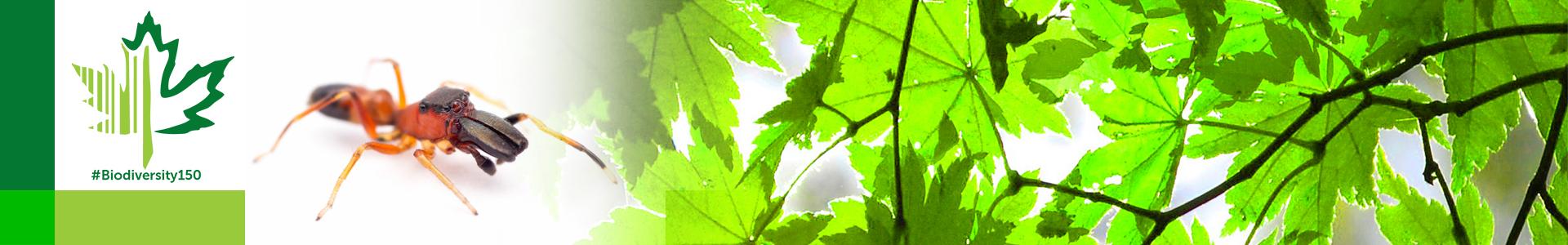 #Biodiversity150 number 110 of 150 Myrmarachne formicaria
