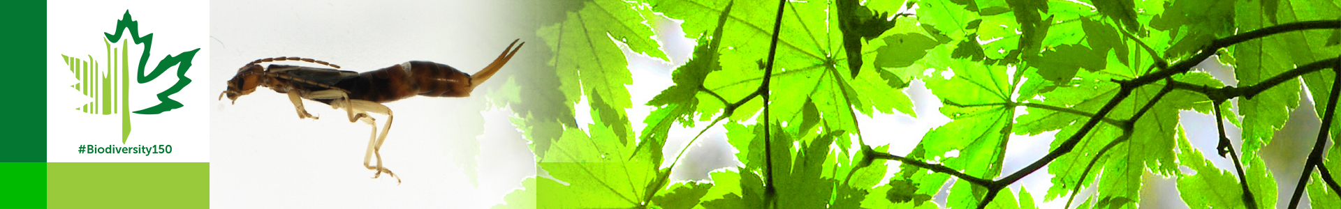 #Biodiversity150 number 123 of 150 Earwig