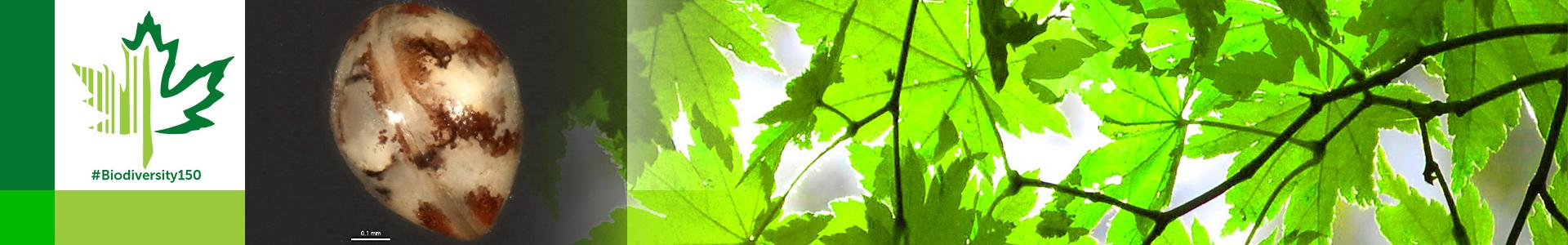 #Biodiversity150 number 142 of 150 Cypridopsis vidua
