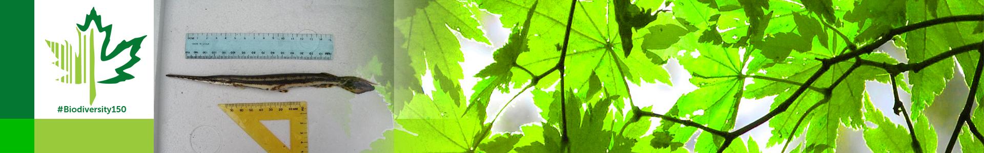 #Biodiversity150 number 139 of 150 Longnose gar