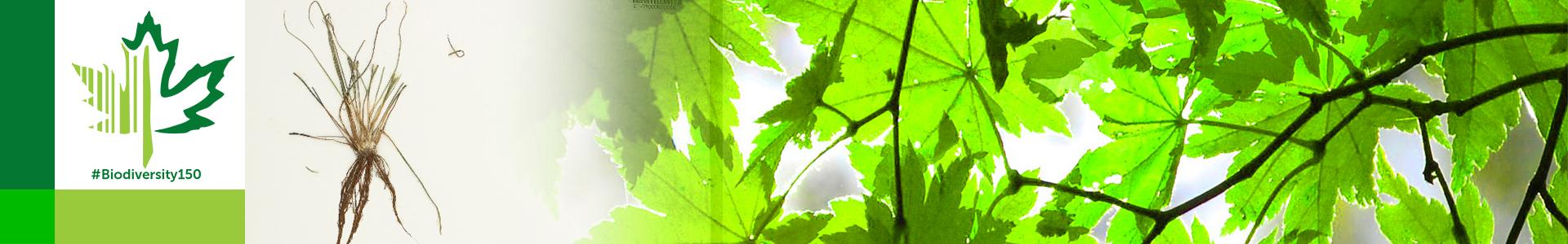 #Biodiversity150 number 146 of 150 Engelmann's Quillwort