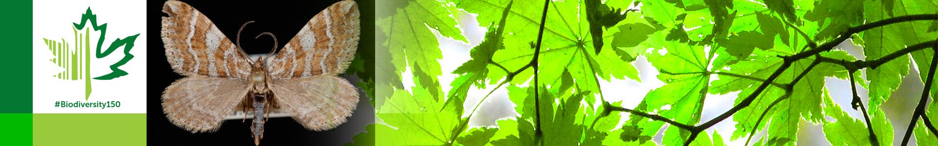 #Biodiversity150 number 148 of 150 Xanthorhoe clarkeata